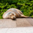 Fur Seal — Stock fotografie #34856003