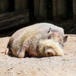 African wild pig sleeping in the zoo — Stock Photo #34856045
