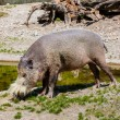 African wild pig at the zoo — Stock Photo #34856057
