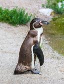 Magellanic penguin — Stock Photo