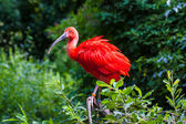 Scarlet Ibis — Stock Photo