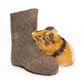 Guinea pig and Russian boots — Stock Photo
