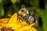 两个大黄蜂 — 图库照片