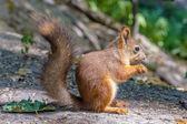Eurasian red squirrel — Stock Photo