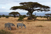 Zebras and Acacia — Stock Photo