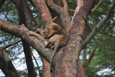 Lion sleeping on a tree — Zdjęcie stockowe