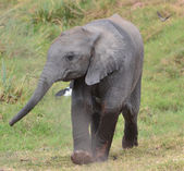 Small elephant of Amboseli — Stock Photo