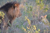 Lion and lioness looking — Photo