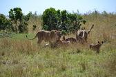 Masai mara de domingo comida — Foto de Stock