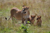 Lioness and small lions — Stock Photo