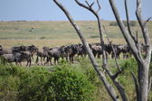 Gnu waiting to cross Mara river — Stock Photo
