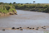 Gnu crossing Mara river — Stock Photo