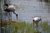Uccelli del lago nakuru — Foto Stock