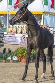 Koni arabskich — Zdjęcie stockowe
