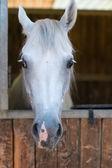 Caballo árabe — Foto de Stock