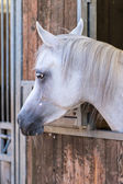 Cavalo árabe — Foto Stock