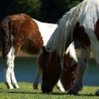 Stock Photo: Grazing Horses 12