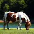 Stock Photo: Grazing Horses 07