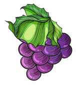 A luscious grape — Stock Vector