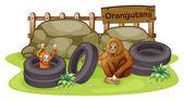 An old and a young orangutan — Stock Vector