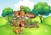 Tigers near the wooden arrow — Stock Vector
