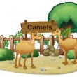 Stock Vector: Signboard at back of two camels