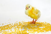 Yellow baby chick 3 — Stock Photo