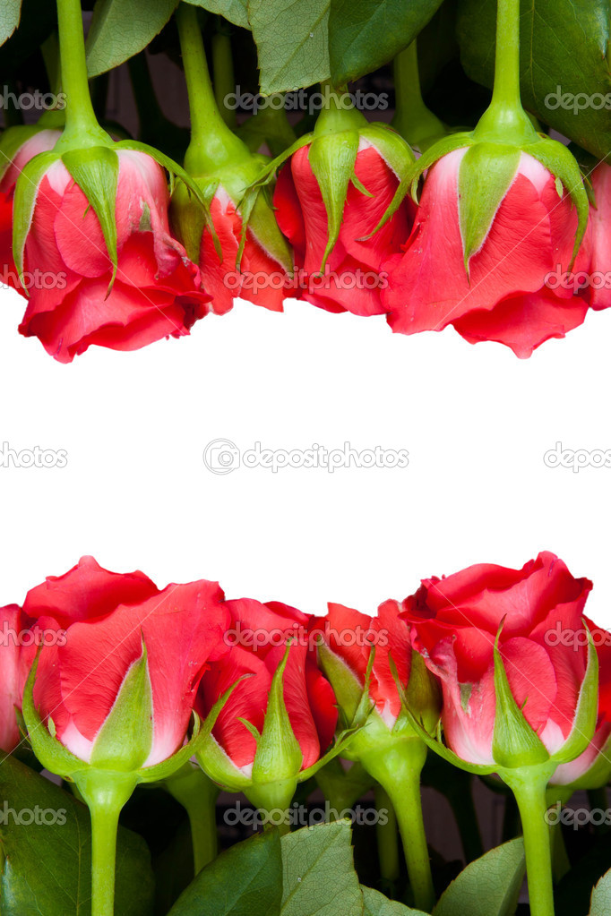 Beautiful red roses on a pure white background with copyspace for text — Stock Photo #12202658