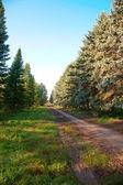 Vicolo o radura in una foresta di pini — Foto Stock