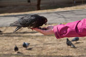 Pigeon eating sunflower seeds from the hand of man — Stock Photo