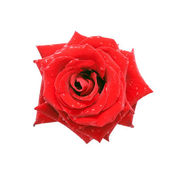 Red rose with dew drops, top view. — Stock Photo