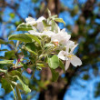 Apple tree flowers on a background of blue sky — Stock Photo