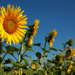 Sunflowers on a background of blue sky. — Stock Photo
