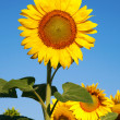 Sunflowers on Summer field. - Stock Photo