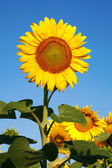 Sunflowers on Summer field. — Stock Photo