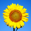 Sunflower on a background of blue sky.  — Stock Photo