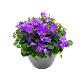 Purple house plant (Campanula) in a gray pot. — Stock Photo