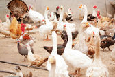 Poultry yard, geese, chickens, ducks, turkeys — Stock Photo