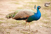 Peacock male walking outdoors. — Stock Photo