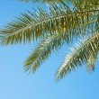Palm branches against the blue sky — Stock Photo