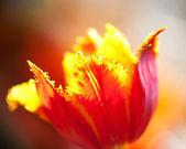 Terry tulip flowe. Macro — Stock Photo