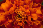 Abstract floral background. Marigold flower macro. — Stock Photo