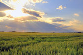 Wheat field with sunset — Stock Photo