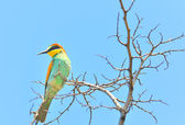 European bee-eater (Merops Apiaster) outdoor — Stock Photo