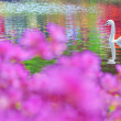 Swan on water — Stock Photo