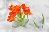 Snake Flower Ornithogalum dubium — Stock Photo