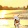 American Staffordshire terrier in sunset - Stock Photo