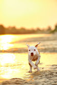 American Staffordshire terrier in sunset — Stock Photo