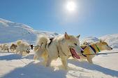 Hund pulka — Stockfoto