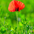 Red poppy (Papaver rhoeas) with out of focus field — Stock Photo #26627917